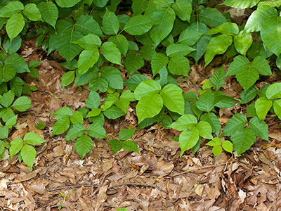 How to treat poison ivy and poison oak rashes in kids